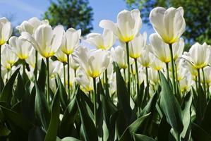 fundo de primavera com lindas tulipas brancas