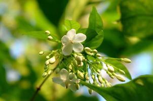 duranta erecta branca, gota de orvalho dourada, flor do céu, pombo foto