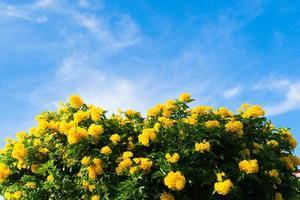 flores amarelas da primavera na árvore sobre o céu azul