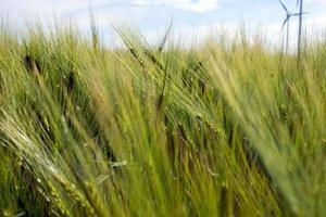 campo de cevada verde