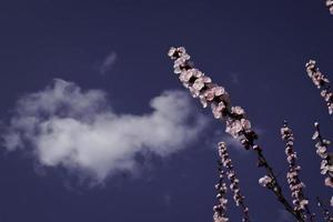 floração de damasco.