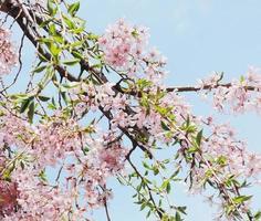 cereja japonesa