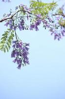 flores de jacarandá