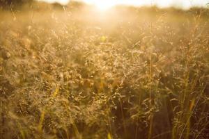 grama dourada ao pôr do sol