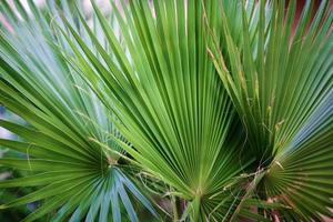 close up de três folhas de palmeira.