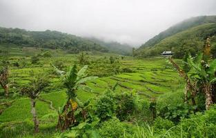 campos de arroz verde brilhante com palmeira foto