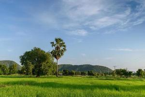 campo de arroz com fundo de montanha.