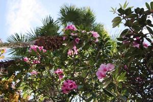 rododendro híbrido 'berliner liebe' bela flor colorida sob grandes palmeiras
