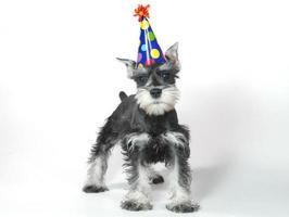 aniversário curioso comemorando filhote de schnauzer miniatura