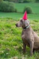 cachorro de aniversário com chapéu vermelho foto