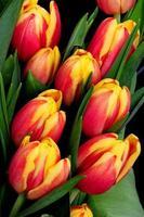 tulipas laranja e vermelhas foto