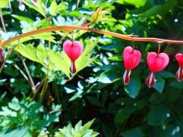 flor em forma de coração rosa foto