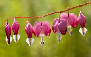 coração sangrando flores foto