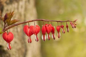 flores do coração foto