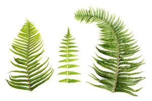 folhas de samambaia em fundo branco foto