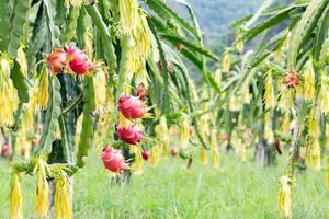 campo de fruta do dragão