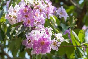 linda flor roxa de lagerstroemia speciosa foto