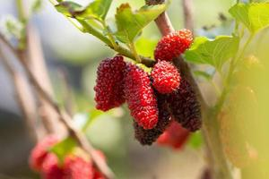 colher frutas de amora foto