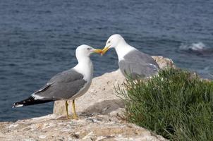 gaivotas no mar foto