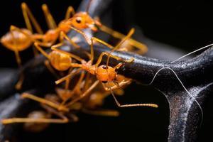 formigas vermelhas em um fundo preto foto