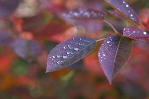 folhas roxas com gotas de água