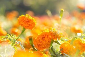 flores de calêndula com gota d'água foto