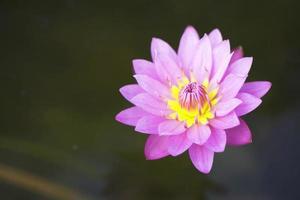 lótus rosa