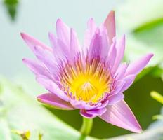 flor de lótus na lagoa