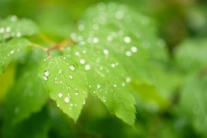 folhas verdes com gotas de água para o fundo foto