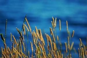 grama verde, erva do pântano, água de junco, lago foto