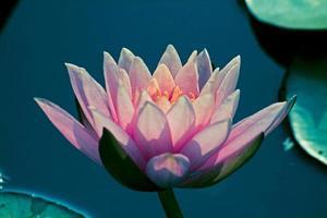 nenúfar rosa, lótus rosa, ninfa pubescens