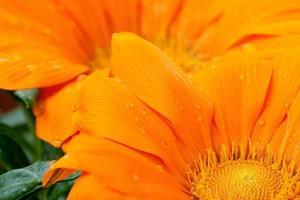 close-up de margarida laranja com gotas de água