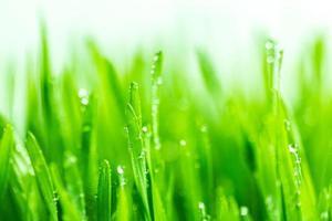 grama de trigo verde fresca com gotas de água
