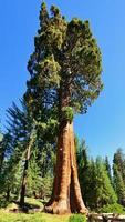 sequóias gigantes no parque nacional de sequóia, Califórnia