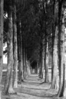 caminho de cascalho entre pinheiros foto