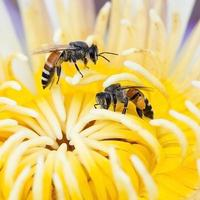 enxame de abelhas nenúfar, lótus na natureza