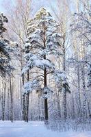 pinheiro coberto de neve