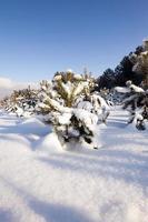 pinheiros no inverno foto
