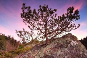pequeno pinheiro na rocha de pedra foto