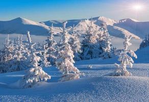 Abetos cobertos de neve foto