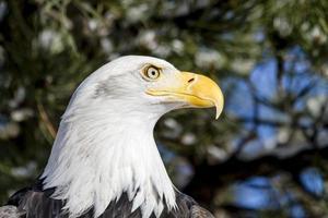 águia careca em dia ensolarado de inverno