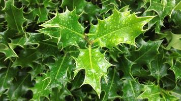 folhas de azevinho com gotas de água foto