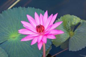 nenúfar rosa na lagoa foto