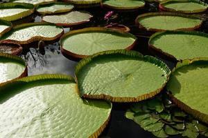 folha verde de flor de lótus