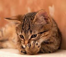 pata de limpeza de gato