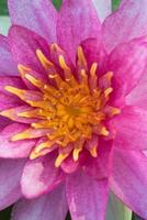linda lótus rosa foto