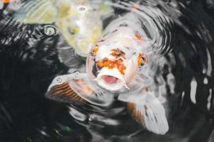 peixe koi ornamental rompendo a água com a boca aberta foto