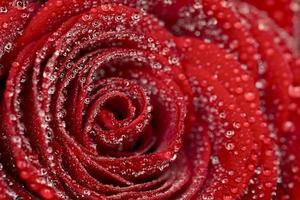fundo rosa vermelho escuro frower com gotas de água