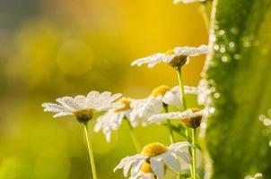margarida branca ou leucanthemum vulgare e gotas de água foto