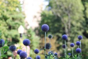 flor globo azul foto